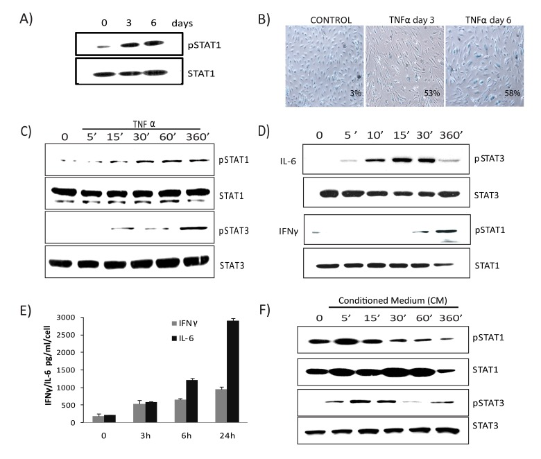 Prolonged activation of JAK/ STAT signaling in TNFα-induced senescence ( A ) Immunoblot detection of p-Ser727-STAT1 and total STAT1 in cells exposed to TNFα 20ng/ml for the indicated times. ( B ) SA-β-gal activity in TNFα (20ng/ml)-treated or control cells for 3 or 6 days. ( C ) Immunoblot detection of p-Ser727-STAT1, total STAT1, p-Tyr705-STAT3, and total STAT3 in cells exposed to TNFα (5ng/ml) for the indicated intervals. ( D ) Immunoblot detection of pSTAT1, total STAT1, pSTAT3, and total STAT3 in cells stimulated with IL6 (10ng/ml) or IFNγ (1ng/ml) for the indicated intervals. ( E ) Secretion of IFNγ/IL6 quantified by ELISA in conditioned medium collected in the presence or absence of TNFα. ( F ) Immunoblot detection of p-Ser727-STAT1, p-Tyr705-STAT3, STAT1, and STAT3 in cells treated with conditioned medium (CM) (cell free-culture supernatants from control and cells stimulated with TNFα for 3 days transferred after 1:4 dilution with fresh culture medium) from TNFα-induced senescent cells or from non-senescent cells for the indicated times.