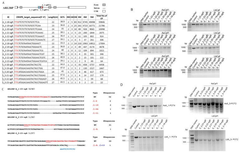 Targeting ADP ribosylation factor like GTPase 2 binding protein ( ARL2BP ) gene by CRISPR/Cpf1-based genome editing. A. Scheme of sgRNAs designed to target exon 3 of the ARL2BP gene using CRISPR-offinder. B. Activity of 18-, 19-, 20-, 21-, 22- or 23-nt sgRNA targeted to the different genomic loci after co-transfection with two members of the Cpf1 family, the AsCpf1 from Acidaminococcus sp. and the LbCpf1 from Lachnospiraceae bacterium. C. Indels mutation created by CRISPR/Cas9 and detected by DNA sequencing. D. Detection of the two Cpf1 off-target binding sites by the T7EN I cleavage assay. ARL2BP, ADP ribosylation factor like GTPase 2 binding protein; M, the number of nucleotide mismatches (1M, 2M, 3M, 4M or 5M); 0M, perfect match to the on-target site, and if the number of 0M sites > 1, maybe off-target sites are contained; bp, base pair; OT, off-target; POT, potential off-target sites; Control, cells for the negative control.