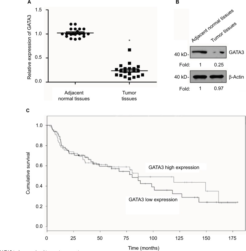 GATA3 is downregulated in gastric cancer tissues. Notes: ( A ) Total mRNA was extracted from 83 pairs of tumor tissue samples and adjacent normal tissue samples. qRT-PCR was performed to determine the relative mRNA level of GATA3. * P