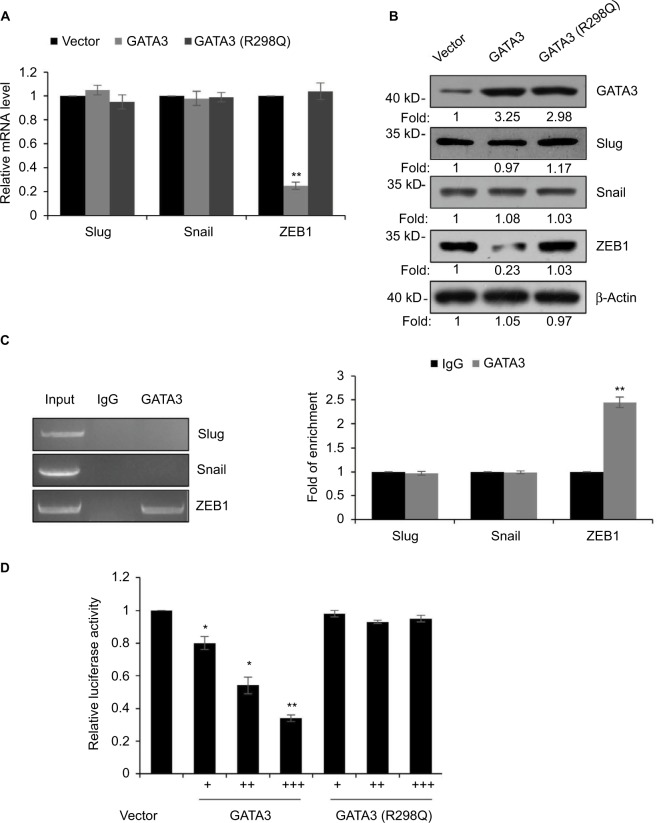 GATA3 transcriptionally regulates ZEB1 in G cells. Notes: ( A ) CTC-141 cells were transfected with vector, GATA3 and GATA3 (R298Q), and the relative expressions of EMT-associated transcription factors were detected by qRT-PCR. ** P