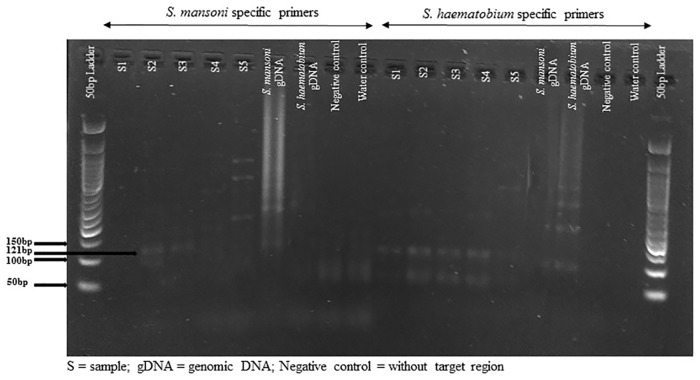 Agarose gel image of the repeat fragment amplicons for both S . mansoni and S . haematobium with species-specific primers.