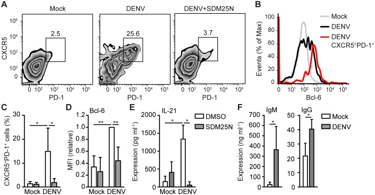 DENV infection of DCs induces Bcl-6 + CXCR5 + PD-1 + T FH formation. Flow cytometry analysis of extracellular CXCR5, PD-1 (A,C) and intracellular Bcl-6 (B,D) expression of differentiated T cells after coculture of naive CD4+ T cells with mock-treated DC or DCs infected with DENV for 48h in the absence or presence of DENV replication inhibitor SDM25N. Numbers in zebra plots of (A) indicate percentage of gated cells. Histograms in (B) represent all T cells from mock coculture (grey), DENV coculture (black) or CXCR5 + PD-1 + T cells from DENV coculture (red) as gated in (A). Results in (D) are relative to fluorescent intensity of DENV samples set as 1. (E) IL-21 in supernatant of differentiated T cells as described in (A) was measured by ELISA. (F) IgM and IgG in the supernatant of B cells cocultured for 7 days with differentiated T cells from mock-treated or DENV-infected DC-T cell cocultures was analyzed by ELISA. Data are representative of at least five (A) or four (B) independent experiments with different donors or are collated data (mean ± s.d.) of five (C), four (D), three (F) or two (E) different donors. ** P