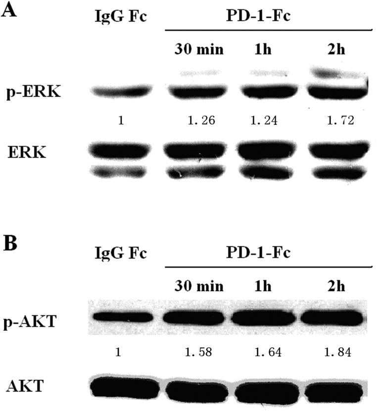 Effect of PD-1/PD-L1 interaction on phosphorylated ERK (p-ERK) and phosphorylated AKT (p-AKT) in MDA-MB-231 ( A ) p-RRK and total ERK were determined by western blot after treatment with IgG Fc or PD-1-Fc for indicated periods. ( B ) p-AKT and total AKT were determined by western blot after treatment with IgG Fc or PD-1-Fc for indicated periods. Numbers represent p-ERK or pAKT relative signal intensities.