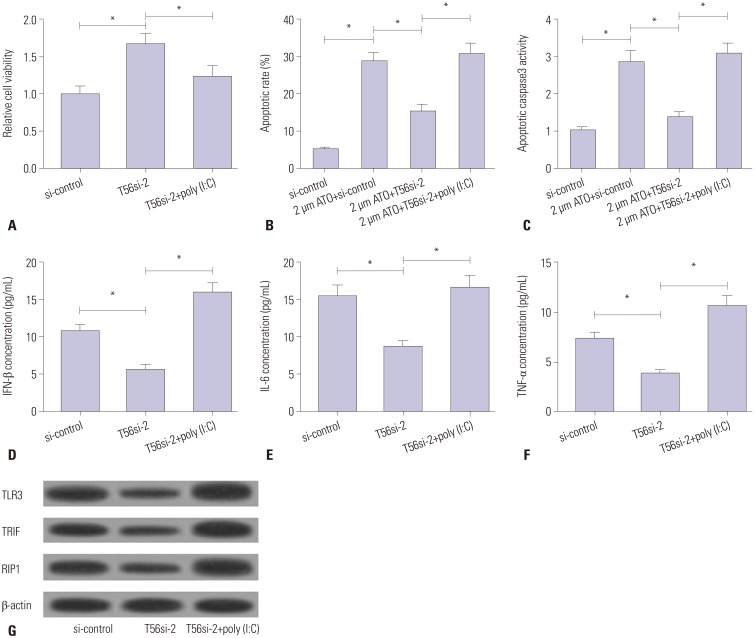TRIM56 deficiency promoted the progression of MM via interrupting TLR3/TRIF signaling pathway. RPMI8226 cells were transfected with T56si-2 or along with poly (I:C) for further analysis at 48 h post-transfection. (A) Cell viability of transfected RPMI8226 cells was assessed by MTT assay. (B) Apoptotic rate of transfected RPMI8226 cells was detected by flow cytometry. (C) The relative caspase3 activity of transfected RPMI8226 cells was measured by the Caspase3 Colorimetric Assay Kit. The concentrations of secreted cytokines IFN-β (D), IL-6 (E), and TNF-α (F) in transfected RPMI8226 cells were measured by ELISA. (G) Western blot analysis of TLR3, TRIF, and RIP1 protein expression in transfected RPMI8226 cells. * p