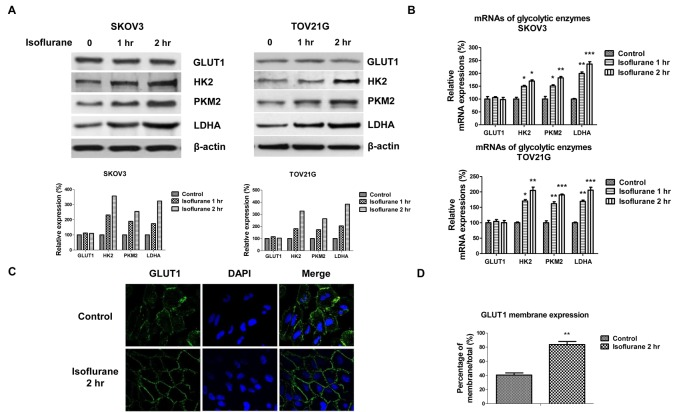 Glycolytic enzymes were activated by isoflurane treatments SKOV3 and TOV21G cells were treated without or with isoflurane for 1 or 2 h, cells were then cultured in new medium for 24 h. ( A ) The protein expressions of GLUT1, HK2, PKM2, and LDHA were measured by Western blot. β-actin was used as a loading control. ( B ) The mRNA expressions of glycolytic enzymes were measured by qRT-PCR. ( C ) SKOV3 cells were treated without or with isoflurane for 2 h, cells were incubated in fresh medium for 24 h. Cells were fixed and stained with antibody against GLUT1. DAPI was used for the nuclei staining. ( D ) Quantitation of the membrane localization of GLUT1 based on the results of Figure 2 C using ImageJ software. All experiments were performed at least three times independently and the data shown are mean ± S.D.; *: P