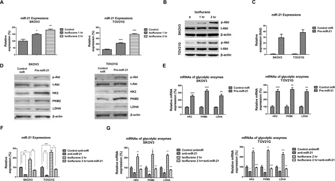Isoflurane induces miR-21 expression and phosphorylation of AKT ( A ) SKOV3 and TOV21G cells were treated without or with isoflurane for 1 or 2 h, and the expressions of miR-21 were assessed by qRT-PCR. U6 was used as an internal control. ( B ) SKOV3 and TOV21G cells were treated with isoflurane for 1 or 2 h, the phosphorylation of AKT was measured by Western blot. β-actin was used as the loading control. ( C ) SKOV3 and TOV21G cells were transfected with control miRNAs or pre- miR-21 for 72 h. The expression of miR-21 was assessed by qRT-PCR. U6 was used as the internal control. ( D ) The proteins and ( E ) mRNAs of HK2, PKM2, and LDHA were measured in SKOV3 and TOV21G cells without or with miR-21 overexpression. ( F ) SKOV3 and TOV21G cells without or with isoflurane treatment were transfected with control antisense or anti- miR-21 for 72 h. The expression of miR-21 was assessed by qRT-PCR. U6 was used as an internal control. ( G ) The mRNAs of GLUT1, HK2, PKM2, and LDHA were measured by qRT-PCR. All experiments were performed at least three times independently and the data shown are mean ± S.D.; *: P