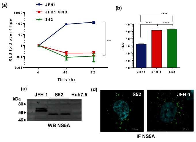 Assay for replication of S52 SGR. (a) Transient replication of the S52 SGR (AII culture adapted variant) [ 16 ] compared to either wild-type or GND mutant JFH-1 (GT2a). Two micrograms of the indicated RNA transcripts were electroporated into Huh7.5 cells and harvested for luciferase assay at the indicated time points. Relative luciferase units are expressed as the ratio to 4 hpe. Error bars show standard error of the mean of three experimental repeats. (b) S52 SGR RNA was electroporated into Huh7.5 cells and selected with 0.5 mg ml −1 G418 from 48 hpe. Surviving colonies were pooled into a polyclonal population of SGR-harbouring cells. Luciferase activity was measured in 8×10 3 cells and presented as absolute values compared to Con1- and JFH-1 SGR-harbouring cell lines. (c) Western blot analysis of NS5A expression in JFH-1- or S52 SGR-harbouring cells. (d) S52- and JFH-1 SGR-harbouring cells were immunostained for NS5A (green) using a sheep polyclonal anti-NS5A serum and nuclei using DAPI. ** P ≤0.01, **** P ≤0.0001.