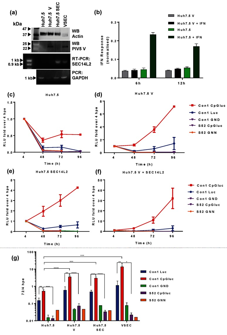 Enhancement of SGR replication using low-CpG luciferase, PIV-5 V protein and SEC14L2. (a) Confirmation of PIV-5 V or SEC14L2 expression by western blot or RT-PCR, respectively. (b) Huh7.5 or Huh7.5 V cells were transfected with an ISRE-luc plasmid and treated with IFN-α for 6 or 12 h prior to harvest for luciferase assay. Two micrograms of the indicated SGR RNA transcripts were electroporated into Huh7.5 (c), Huh7.5 V (d), Huh7.5 SEC14L2 (e) and Huh7.5 V+SEC14 L2 (termed VSEC cells) (f). (g) For comparative purposes all data were combined on to a single graph. Cells were harvested for luciferase assay at the indicated time points. Relative luciferase units are expressed as the ratio to 4 hpe. Error bars represent the standard error of the mean of four experimental repeats. ** P ≤0.01, *** P ≤0.001, **** P ≤0.0001.