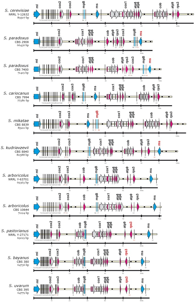 The genetic organization of Saccharomyces <t>mtDNA.</t> For simpler comparison, the circular genomes, exported from Vector <t>NTI,</t> were aligned at the beginning of the large rRNA subunit ( rnl ). Protein-coding genes, ribosomal RNA, rnpB are marked as arrows and bar, tRNA genes as black lines, introns with white rectangles, intronic and free-standing ORFs by gray arrows and replication origins with black circles. Gene nomenclature follows the rules described in GOBASE ( atp for ATP synthetase subunits, cox for cytochrome oxidase subunits, cob for cytochrome b, rns for small rRNA ribosomal subunit, rnl for large rRNA ribosomal subunit, T2, C, H, etc. for particular tRNA coding genes, rps3 for ribosomal protein and rnpB for the RNA subunit of RNase P). Sizes are given on the bottom line in kbp.