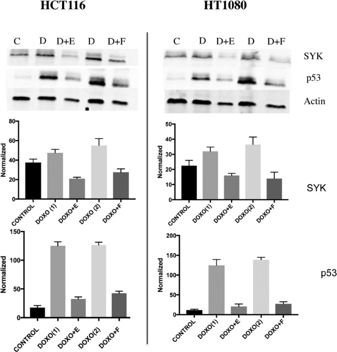 SYK inhibition by entospletinib (E) and fostamatinib (F) reduces <t>p53</t> level (D). HCT116 and HT1080 cells were treated with 1.5 μM doxorubicin or 1 μM doxorubicin (D) and 1 μM entospletinib or 0.5 μM fostamatinib for 24 hours. Entospletinib and fostamatinib reduced p53 levels in both cell lines. Error bars showed p53 and SYK quantification from different experiments.