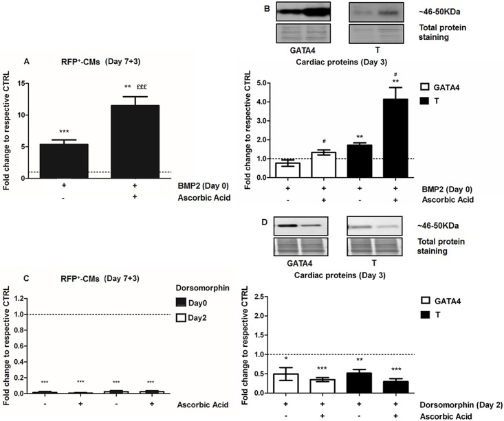 Ascorbic acid induction of cardiomyogenesis involves the BMP-signaling cascade. A. Cardiomyogenesis assessment by quantification of RFP + -CMs by flow cytometry analysis after treatment with BMP2 (10 ng/mL), added at Day 0, Ascorbic acid, added at Day 2, and their combination (Day 0 + Day 2, n = 5). B. Western Blots of the cardiac markers GATA4 and T following treatment with BMP2 (10 ng/mL, Day 0), AA (Day 2), and their combination (Day 0 + Day 2, n = 6). C. Cardiomyogenesis assessment by flow cytometry quantification of RFP + -CMs after dorsomorphin treatment (2 μM), an inhibitor of SMAD1-activation, added at Day 0 or Day 2, alone or in combination with AA (Day 2) (n = 3). D. Western Blots of the cardiac markers GATA4 and T following dorsomorphin inhibition (Day 2, 2 μM, n = 5), alone or in combination with AA (Day 2). *p