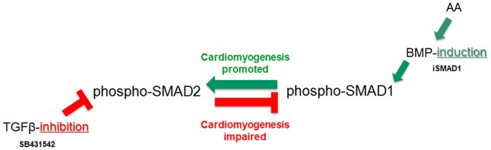SMADs unidirectional cross-talk either promotes or impairs cardiomyogenesis. The inhibition of the TGFβ-signaling by SB431542 decreases the activation (phosphorylation) of the TGFβ-dependent SMAD2, as expected, but also downregulates the activation (phosphorylation) of the BMP-dependent SMAD1. SMAD2 negative feedback on SMAD1 impairs cardiomyogenesis. In contrast, the induction of the BMP-cascade by conditional expression of SMAD1, BMP2-stimulation or AA treatment, increases the activation (phosphorylation) of the BMP-dependent SMAD1, as expected, but also upregulates the activation (phosphorylation) of the TGFβ-dependent SMAD2. SMAD1 positive feedback on SMAD2 promotes cardiomyogenesis. These results show that SMAD1 is critical for cardiomyogenesis, and that AA acts in part through this positive unidirectional cross-talk.