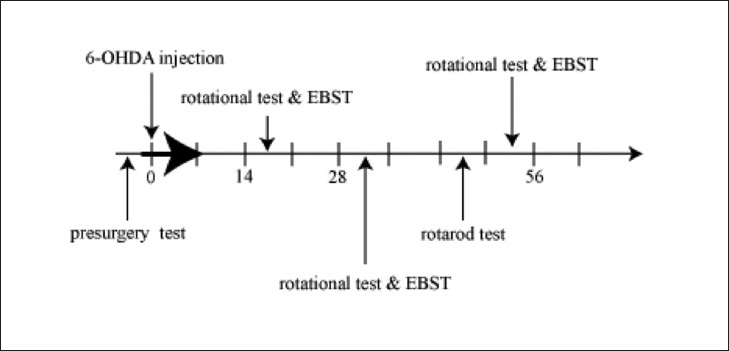 - Time schedule used for our experiments: Animals were tested by apomorphine-induced rotational test and elevated body swing test (EBST) at fourth times: before stereotaxic surgery and 6-OHDA injection and in the third, fifth and eighth weeks after that. Rotational tests were performed at least 1 hour after termination of the EBST. Rotarod test, were performed in the seventh week after 6-OHDA injection. Blood sampling and measurement of its MDA concentration were performed before the surgery and in the fourth and ninth weeks after that. Pretreatments with potassium channel blockers of 4-AP and TEA and also saline was begun just before 6-OHDA injection and continued to seven days after that (black arrow). Numbers show the days after 6-OHDA injection. EBST - elevated body swing test, MDA - Malondialdehyde, 4-AP - 4-aminopyridine, TEA - Tetraethylammonium, 6-OHDA - 6-hydroxydopamine