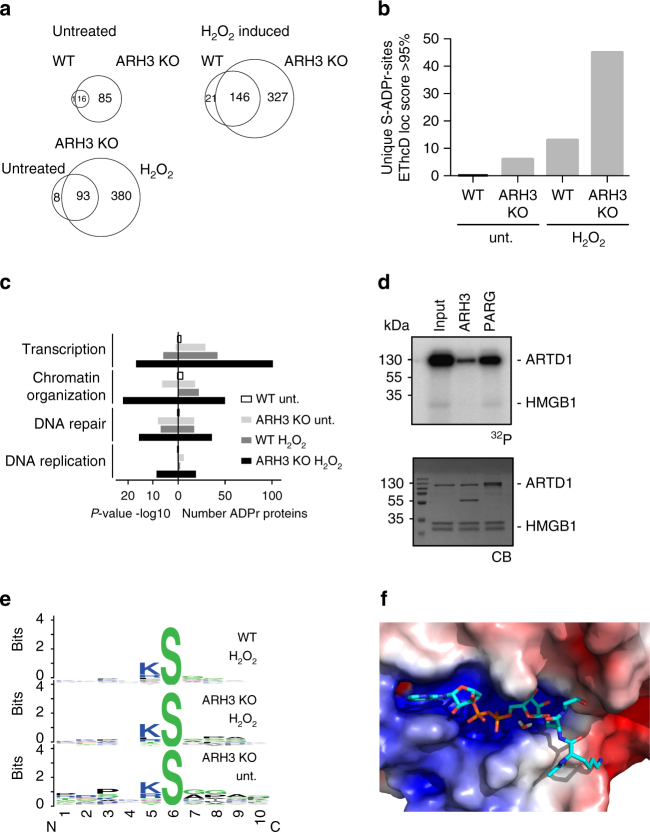 ARH3 regulates basal and hydrogen peroxide-induced serine ADP-ribosylation in vivo. a Venn diagrams of unique ADP-ribosylated peptides of wild type (WT) and ARH3 KO MEF cells under basal and H 2 O 2 -treated conditions. b Unique ADP-ribosylation sites detected by EThcD fragmentation in the different samples. c Gene ontology analysis of the identified ADPr-modified proteins using the PANTHER database. Shown on the left are the P -values and on the right the number of identified and annotated ADP-ribosylated proteins. d Validation of mono-ARH activity of ARH3 on the nuclear protein HMGB1. Recombinant HMGB1 was in vitro ADP-ribosylated using recombinant ARTD1 in the presence of 32 P-labeled NAD + . Equal fractions were left untreated (Input) or were treated with PARG or ARH3. Above: radioactivity exposure, below: Coomassie Blue-stained poly-acrylamide gel. e Motif searches for ADP-ribosylated peptides with a mascot site localization score > 80% in MEF cells using Weblogo. f Energy minimized binding mode of an acetyl-KSG peptide with ADPr-Ser modification. The surface of ARH3 (including the binding-site magnesium ions) is colored according to electrostatic potential (on a scale of −5 to 5 kT/e). The positively charged amino group of the K side chain and the backbone amide groups point toward the region of the surface with negative potential