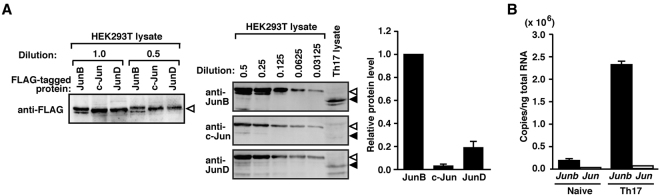 JunB but not c-Jun is abundantly expressed in Th17 cells. ( A ) Immunoblot analysis for evaluation of relative expression levels of endogenous Jun family proteins in Th17 cells. The same amounts of FLAG–JunB, FLAG–c-Jun or FLAG–JunD, which were expressed in HEK293T cells, were estimated by immunoblot with an anti-FLAG antibody (M2) (left panel). Serially diluted proteins and the Th17 cell lysate were subjected to immunoblot analysis with anti-JunB, anti-c-Jun, or anti-JunD antibodies (middle panel), followed by quantification with Odyssey Infrared Imaging System. FLAG-tagged and endogenous proteins were denoted by white and black arrowheads, respectively. Relative protein levels of endogenous JunB, c-Jun, and JunD were shown in the right panel in (A) . ( B ) Real-time PCR analysis for relative mRNA copy numbers of Junb and Jun in naive CD4 + T cells and Th17 cells. mRNA copy numbers were estimated from standard curves that were generated using known numbers of a plasmid encoding Junb or Jun . Data are presented as mean ± SD.