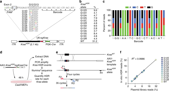Design and validation of an AAV targeting vector library to introduce all Kras codon 12 and 13 single-nucleotide non-synonymous point mutations into somatic mouse cells in a multiplexed manner. a AAV vector pool for Cas9-mediated HDR into the endogenous Kras locus (AAV- Kras HDR /sg Kras / Cre ). Each vector contained an HDR template with 1 of 12 non-synonymous Kras mutations at codons 12 and 13 (or wild-type Kras ), silent mutations within the PAM (boxed sequence) and sgRNA homology region (PAM*), and a random 8-nucleotide barcode within the wobble positions of the adjacent codons for stable DNA barcoding of individual tumors. b Representation of each Kras HDR allele in the AAV- Kras HDR /sg Kras / Cre plasmid library. c Diversity of the barcode region in the AAV- Kras HDR /sg Kras / Cre plasmid library. d Schematic of the experiment to test for HDR bias. A Cas9-expressing cell line was transduced with AAV- Kras HDR /sg Kras / Cre and Kras HDR alleles were sequenced to quantify HDR events. e Schematic of the PCR strategy to specifically amplify Kras HDR alleles introduced into the genome via HDR. Forward primer 1 (F1) binds to the sequence containing the 3 PAM* mutations, while reverse primer 1 (R1) binds the endogenous Kras locus, outside the sequence present in the homology arm of the Kras HDR template. F2 binds to the Illumina adaptor added by F1, R2 binds to a region near exon 2, and R3 binds to the Illumina adapter added in the same reaction by R2. f Frequency of HDR events for each Kras HDR allele plotted against the initial frequency of each Kras mutant allele in the AAV- Kras HDR /sg Kras / Cre plasmid library. High correlation between the initial plasmid library and the representation of mutant Kras alleles following HDR suggests little to no HDR bias