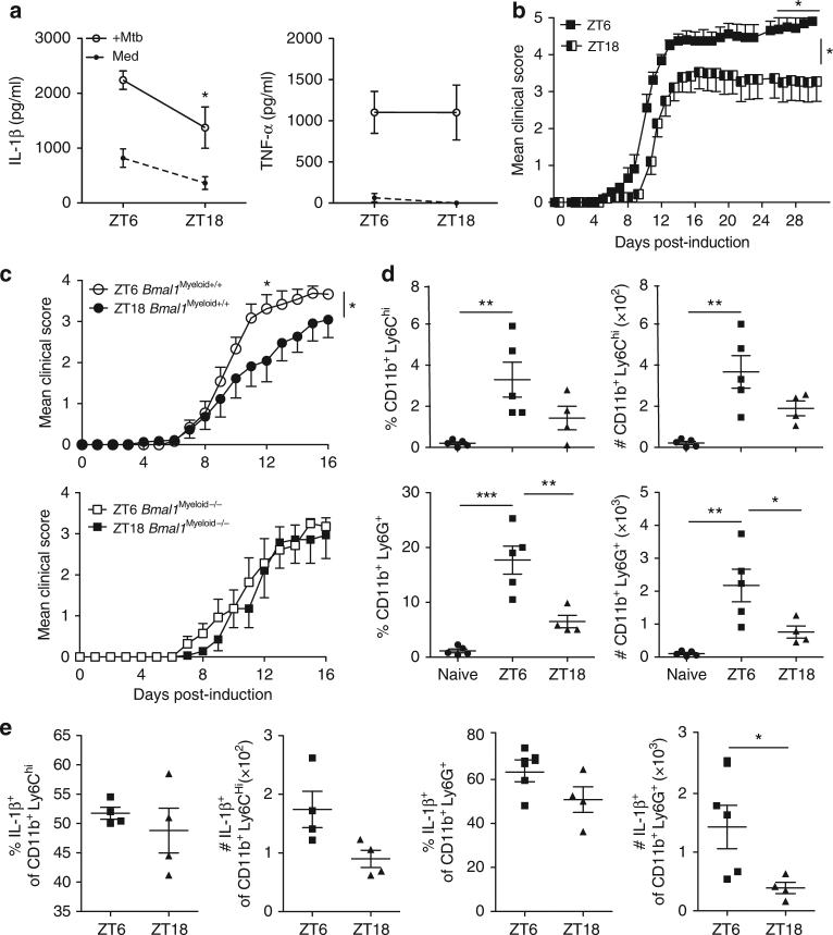 Severity of EAE is dependent upon time-of-day at point of immunization. a Lymph node (LN) cells isolated at either ZT6 or 18 were stimulated with medium or Mycobacterium tuberculosis (MTB) (100 µg/ml). Supernatants were tested by ELISA for IL-1β and TNF after 24 h. b Daily clinical score for myelin oligodendrocyte glycoprotein (MOG 35–55 ) + complete Freund's adjuvant (CFA) + pertussis toxin (PT)-induced EAE in female C57BL/6 mice, immunized at either ZT6 or ZT18. Statistics by Kruskal–Wallis test on indicated days of 12 mice per group and Mann–Whitney test of area under the curve. c EAE clinical scores in Bmal1 Myeloid+/+ and Bmal1 Myeloid−/− female mice immunized with MOG + CFA and PT at either ZT6 or ZT18. Statistics by Kruskal–Wallis test on indicated days for 7–12 mice per group and Mann–Whitney test of area under the curve. d , e Peritoneal exudate cells were removed from 3 d MOG 35–55 + CFA + PT ZT6 or ZT18-immunized or naive female C57BL/6 mice ( n = 4–5). d FACS was performed directly ex vivo gating on CD11b + cells and examining Ly6C hi and Ly6G + populations ( n = 4–5). e Intracellular FACS for IL-1β production gating on CD11b + Ly6C hi or CD11b + Ly6G + populations ( n = 4–5). Statistics were performed by Mann–Whitney U test ( a , d , e ). All data is presented as means±standard error of the mean (SEM). * p