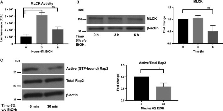 Ethanol exposure is associated with a transient increase in myosin light chain kinase ( MLCK ) phosphorylation activity as well as a decrease in Rap2 activation. Equal amounts of protein collected from Caco‐2 monolayers treated with 6% v/v ethanol for 0‐ (medium only), 3‐, or 6‐h, were incubated with antibody‐coated magnetic protein beads to immunoprecipitate MLCK over 1‐h. MLCK phosphorylation activity was measured directly on these bead complexes by Promega ADP ‐Glo™ kinase assay kit using 50 μ mol/L ATP and 0.4 μ g/ mL synthetic peptide substrate MRCL 3. (A) MLCK phosphorylation activity in relative luminescence units ( RLU ) is reported as means ± SEM . (B) Total MLCK expression was not significantly different among samples; data representative of two independent experiments and was analyzed by one‐way ANOVA , *P