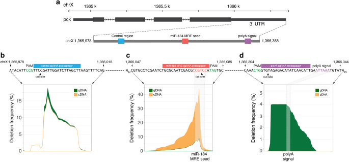 Experimental proof of concept for GenERA analysis. a pck genomic locus showing the 3′UTR relative coordinates of a control region, the predicted miR-184 MRE and the polyA signal. b – d Analysis of CRISPR-based mutagenesis results at each target region described in a . For each genomic locus, the identity of the PAM ( green ), Cas9-mediated DNA double stranded cut site ( arrow head ) and sgRNA protospacer target sequence ( blue , red and purple boxes ) are shown along the corresponding sequences within the pck 3′UTR. Differential analysis of nucleotide deletion profiles reflects negligible differences in cDNA/gDNA mutant read frequencies at the control region ( b ), a substantial enrichment of cDNA sequencing reads containing deletions in the miR-184 MRE seed ( c ), and a complete absence of cDNA reads with missing polyA signals ( d ). The percentage of deleted reads in cDNA and gDNA are shown in orange and green respectively; the position of predicted miR-184 MRE seed sequence and polyA signal are highlighted by shaded areas
