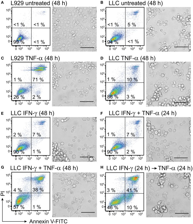 Interferon (IFN)-γ in combination with TNF-α induces cell death in mouse lung carcinoma cells. L929 fibroblasts and Lewis lung carcinoma (LLC) cancer cells were cultured for 24 h before starting treatment with recombinant cytokines. Both L929 and LLC cells were (A,B) left untreated for 48 h and used as negative controls or (C) L929 cells were treated with 50 ng/mL TNF-α for 48 h and used as a positive control. LLC cell viability was retained after treatment with (D) 50 ng/mL TNF-α or (E) 100 ng/mL IFN-γ and after (F) simultaneous treatment with both 50 ng/mL TNF-α and 100 ng/mL IFN-γ for 24 h. Cell death was induced in LLC cells after (G) simultaneous treatment with 100 ng/mL of IFN-γ in combination with 50 ng/mL of TNF-α for 48 h and after (H) LLC pretreatment with 100 ng/mL of IFN-γ for 24 h followed by treatment with TNF-α for 24 h. The resulting cell monolayers were analyzed using bright-field microscopy (scale bar, 50 µM). Cell death was determined using flow cytometry analysis after cell staining with annexin <t>V-FITC</t> (depicted on the x -axis) and propidium iodide (PI, depicted on the y -axis). Annexin V-positive/PI-negative cells were regarded as apoptotic, whereas annexin V-positive/PI-positive cells were regarded as necrotic. Experiment was performed in duplicates and repeated two times with standard error not exceeding 10% between independent experiments. One representative experiment is shown, where the percentages of the four distinct cell populations are averages of duplicates with SEM