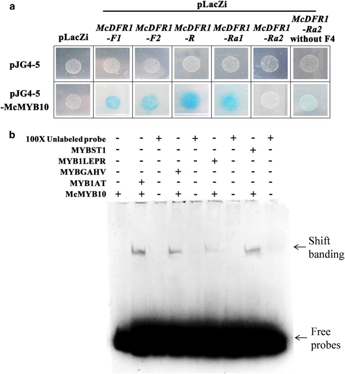 Cis -element binding ability and yeast one-hybrid assay of the McDFR1 promoters with McMYB10. ( a ) Interaction of the McMYB10 protein with the McDFR1-F1 , McDFR1-F2 , McDFR1-R , McDFR1-Ra1 , McDFR1- Ra2 and McDFR1-Ra2 (without F4) promoter regions, as revealed using yeast one-hybrid assays. The panel shows yeast cells containing distinct effector and reporter constructs grown on an SD/-Trp/-Ura medium plate. The interaction of McMYB10, fused to the GAL4 activation domain (pJG4-5-McMYB10), with LacZ driven by McDFR promoters (pLacZi-promoters of McDFR1 ) is shown in the bottom panel. Yeast transformed with pJG4-5-McMYB10/pLacZi, pJG4-5/pLacZi- McDFR1 promoters and pJG4-5/pLacZi were used as controls. ( b ) Electrophoretic mobility shift assay (EMSA) of four the cis -elements, MYB1AT, MYBGAHV, MYB1LEPR, MYBST1, with McMYB10. 100×Unlabeled probe refers to the control of adding 100 times the concentration of a competing non-labeled specific probe. The black arrow indicates protein-DNA complexes, and the white arrow shows the positions of free probes. In lanes with competitor DNA, there was an excess of unlabeled probe.
