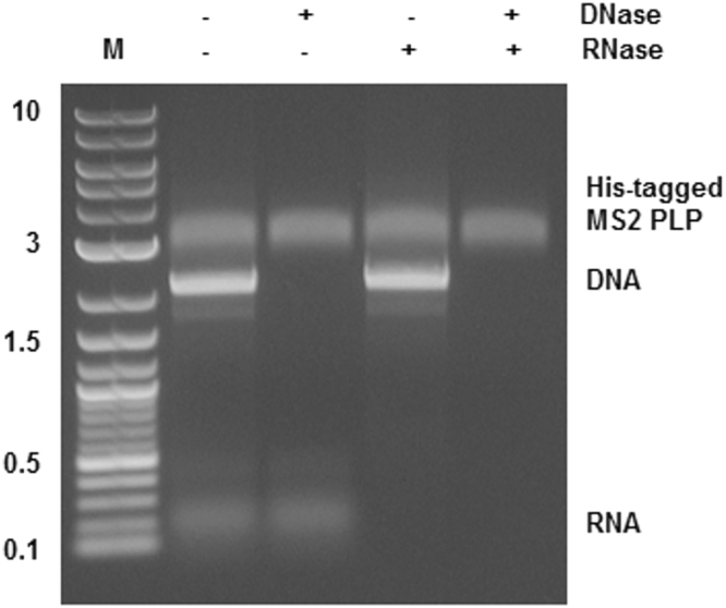 His-tagged MS2 phage-like (His-tagged MS2 PLP) particles stability testing. Agarose gel electrophoresis of His-tagged MS2 PLP, DNA and RNA treated (+) and not treated (−) with DNase and/or RNase; M, marker, 2-log DNA ladder (New England Biolabs, UK); the marker values are in kb. The figure was cropped, full-length gel is presented in Supplementary Figure 5 .