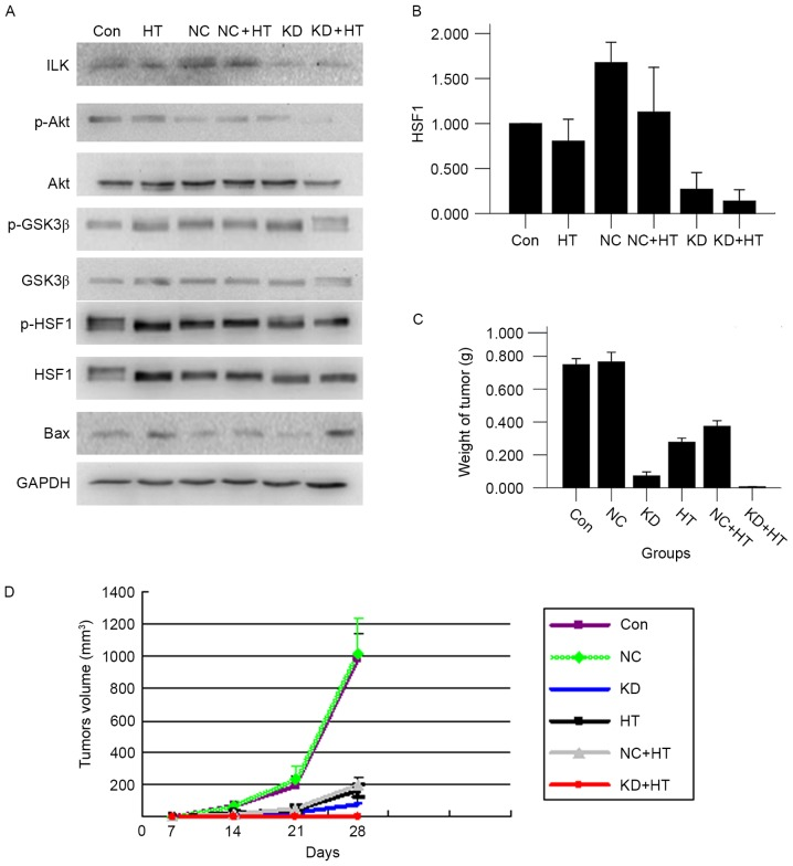 (A) By western blot analysis, ILK silencing combined with hyperthermia could inhibit the proteins level of p-Akt, p-GSK3β and p-HSF1, and promote the expression of Bax protein (P