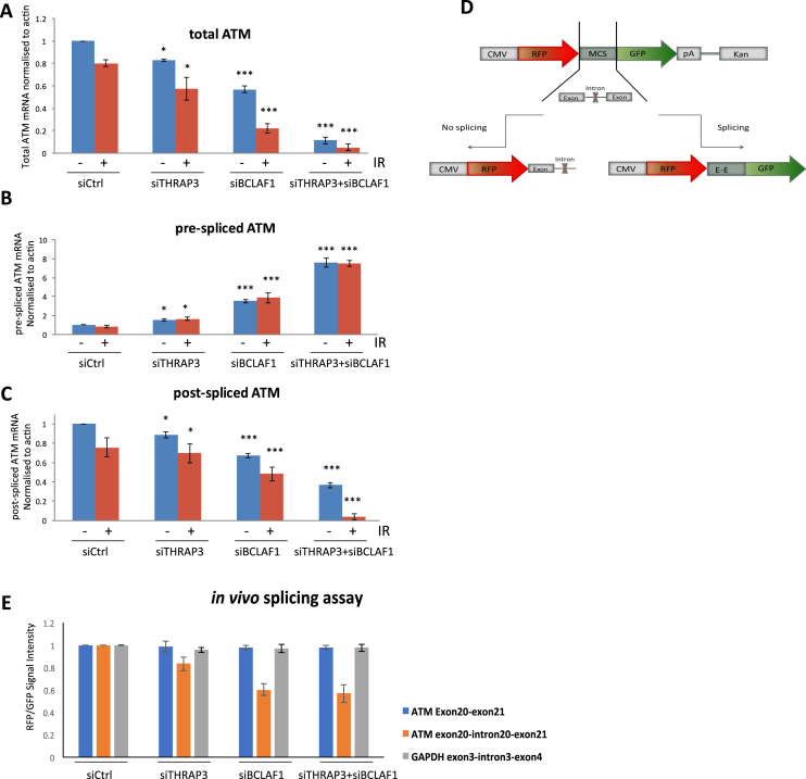 Depletion of THRAP3 and BCLAF1 results in deficient processing of transcripts encoding the ATM kinase. ( A ) Expression level of total post-spliced ATM mRNA in control (siCtrl) and THRAP3 (siTHRAP3), BCLAF1 (siBCLAF1) and double depleted cells (siTHRAP3/siBCLAF1). Primers were designed within exons 20–21 spanning intron 20. mRNA expression was assessed via qRT-PCR on cDNA generated from DNAse treated RNA samples and normalized to ACTB mRNA levels in the same sample. Graphs represent the mean normalized expression from three independent experiments ±SEM. Significance of changes was assessed using Student's two-tailed t- test with significant changes indicated by ∗∗ P