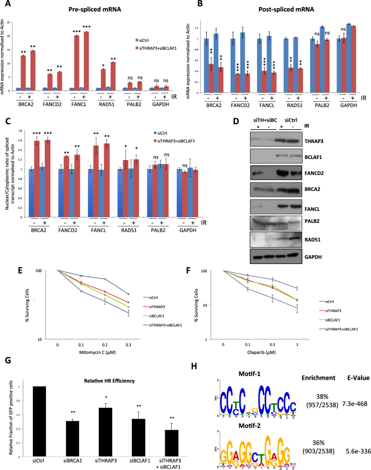 THRAP3 and BCLAF1 double knockdown leads to impaired splicing and export of DDR transcripts. ( A and B ) Expression levels of (A) pre-spliced BRCA2 ( Exon 18–Intron 18 ), FANCD2 ( Exon 36–Intron 36 ), FANCL ( Exon6–Intron 6 ), RAD51 ( Exon 6–Intron 6 ), PALB2 ( Exon 9–Intron 9 ) and GAPDH (Exon 3–Intron 3) mRNAs and (B) post-spliced BRCA2 ( Exon 18-Exon 19 ), FANCD2 ( Exon 36-Exon 37), FANCL ( Exon 6-Exon 7 ), RAD51 ( Exon 6-Exon 7 ), PALB2 ( Exon 9-Exon 10 ) and GAPDH (Exon 3–Exon 4) mRNAs. Expression was assessed via qRT-PCR on cDNA generated from DNAse treated nuclear RNA extracts and normalized to ACTB levels in the same sample. Graphs represent the mean of three independent experiments ±SEM. Significance of changes was assessed using Student's two-tailed t- test with significant changes indicated by ∗∗ P