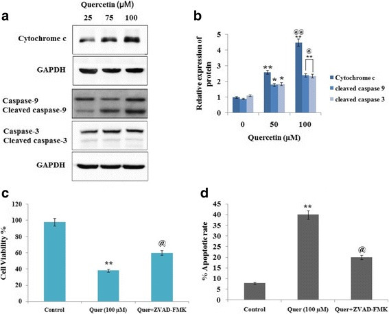 Quercetin causes apoptosis of cancerous RB Y79 cells via intrinsic pathways. a and b The Y79 cells were exposed to Quercetin (0-100 μM). The obtained cell lysates after 24 h were analyzed by western blot using specific antibodies against caspase-9, caspase-3 and cytochrome c , GAPDH was used as a loading control. * P