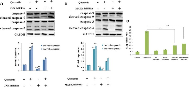 Effect of Quercetin induced apoptosis in RB Y79 cells mediated by JNK and p38 MAPK. a and b The RB Y79 cells were exposed in the presence or absence of JNK inhibitor or MAPK inhibitor for 1 h followed by treatment with 100 μM Quercetin for time period 24 h. Western blot analysis was done for levels of caspase-9 and -3, GAPDH was loading control. ** P