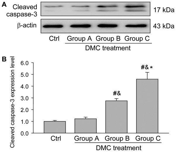 Cleaved caspase-3 expression in the ovaries from each group. (A) Western blots presenting the expression of cleaved caspase-3 in the different groups. (B) Quantification of cleaved caspase-3 protein expression normalized to β-actin. Data are expressed as the mean ± standard error of the mean. One-way analysis of variance was used to analyze the data. # P