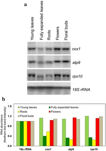 Northern blot analysis of mitochondrial RNA abundance in tobacco organs. a The analyzed tissues are indicated above the blots. Three mitochondrial genes (cox1, atp9 and rps10) were analyzed to confirm the pattern of mitochondrial mRNA abundance observed through mitochondrial microarray analysis. Equal loading of RNA was checked through 18S rRNA hybridization. The blots are representatives for three independent replicates. b Signal intensities relative to the 18s rRNA control from the Northern blots presented in part a of this figure. Pixel intensity values as determined using ImageJ were used to calculate the ratios