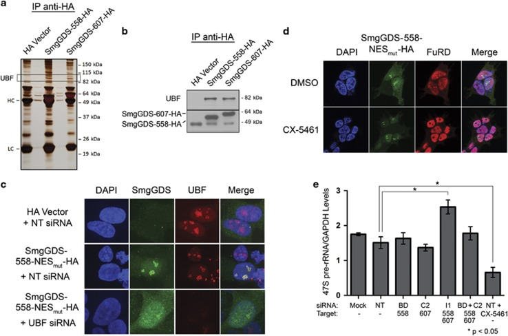 SmgGDS-558 physically interacts with UBF, and this interaction promotes the nucleolar accumulation of SmgGDS-558. ( a ) HEK293T cells were transfected with cDNAs encoding the HA vector or HA-tagged SmgGDS, followed by immunoprecipitation using HA antibody and silver staining to detect co-precipitating proteins. Mass spectrometry identified UBF as one of the co-precipitating proteins (HC and LC; heavy and light chains, respectively, of antibodies used in the immunoprecipitation). ( b ) Lysates from HEK293T cells transfected with cDNAs encoding the HA vector or HA-tagged SmgGDS were immunoprecipitated using HA antibody, followed by immunoblotting using antibodies to UBF and HA ( n =3). ( c ) HEK293T cells were transfected with cDNAs encoding the HA vector or SmgGDS-558-NES mut -HA along with non-targeting (NT) siRNA or UBF siRNA. After 72 h, the cells were immunofluorescently stained with HA antibody, UBF antibody and 4,6-diamidino-2-phenylindole (DAPI), and examined by confocal fluorescence microscopy ( n =3). ( d ) HEK293T cells expressing SmgGDS-558-NES mut -HA were treated with or without the RNA Pol I inhibitor CX-5461 (1 μ m , 2 h), followed by FuRD (2 m m , 15 min), and immunofluorescently stained using antibodies to HA and BrdU ( n =3). Images were obtained by confocal microscopy. ( e ) NCI-H1703 cells were transfected with the indicated siRNAs to deplete SmgGDS, and 72 h later quantitative PCR was conducted to examine 47S pre-rRNA levels (normalized to cellular GAPDH). Control cells were treated with CX-5461 (1 μ m , 2 h) before collecting RNA. Error bars represent ±s.e.m. of three biological replicates, and statistical significance was determined by one-way analysis of variance and Holm-Sidak multiple comparisons test (* P