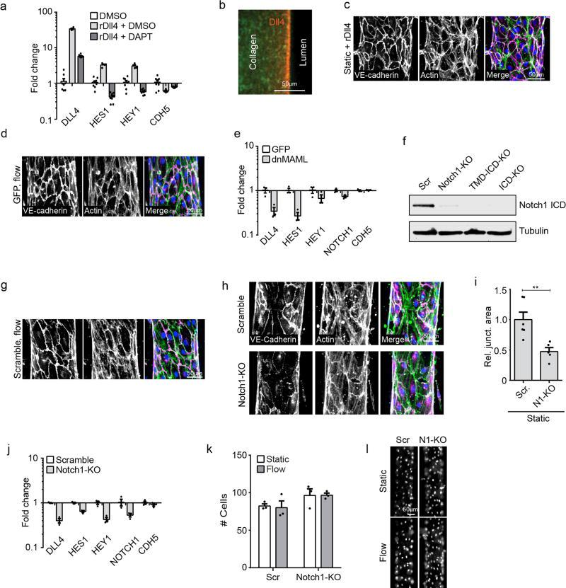 Non-transcriptional Notch1 signaling regulates vascular barrier function a , Gene expression of Notch1 target genes HES1 and HEY1, the Notch1 ligand DLL4, and VE-cadherin (CDH5) measured via qPCR in ECs treated with DAPT or DMSO load control on Dll4-coated and control tissue culture plastic substrates. b , Fluorescent micrograph of rDll4-coated device prior to cell seeding (green – Alexa Fluor 488 Collagen I, red – immunostain of Dll4). c , Fluorescent micrograph of ECs in hEMVs coated with rDll4 prior to cell seeding. d , Micrographs of GFP-infection control cells under flow. e , Gene expression of HES1, HEY1, DLL4, NOTCH1, and VE-cadherin (CDH5) measured via qPCR in ECs expressing dnMAML or infection control (GFP). f , Western blot validation of Notch1 CRISPR lines: Scramble, Notch1-KO, TMD+ICD-KO, and ICD-KO. g , Fluorescent micrographs of CRISPR/Cas9 scramble control cells under flow. h , Fluorescent micrographs of Scramble and Notch1-KO hEMVs under static conditions immunostained for VE-cadherin and labeled with phalloidin (actin). i , Quantification of junctional area measured from VE-cadherin immunostained micrographs. j , Gene expression measured via qPCR in Notch1-KO cells and scramble control cells. k , Quantification of cell number in f.o.v at 10x magnification of Scramble or Notch1-KO hEMV under static and flow conditions. l , Micrographs of nuclei as visualized by DAPI in Scramble or Notch1-KO hEMVs. For all plots, mean ± s.e.m., n≥3 hEMVs, **p