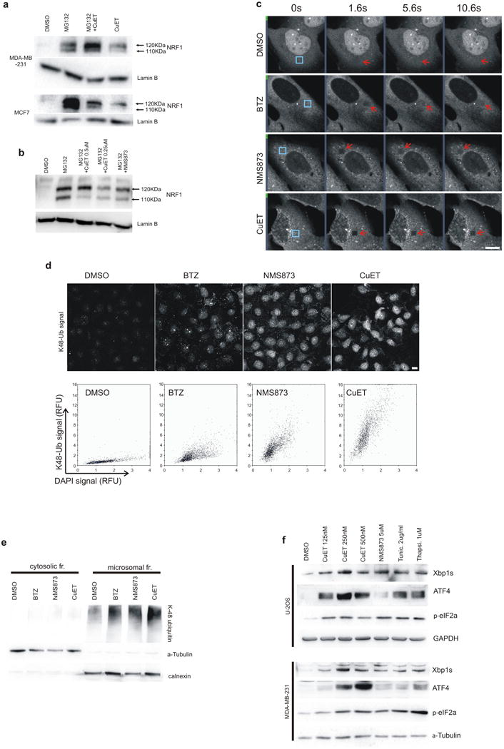 CuET inhibits the p97 pathway and induces cellular unfolded protein response (UPR) a ) Proteasome inhibitor MG132-treated cells (5μM, 6h) accumulate both forms of NRF1 (120- and 110-KDa bands, upper and lower arrows, respectively) while CuET-treated cells (1μM, 6h) accumulate only the non-cleaved 120-KDa form; b ) Inhibition of the NRF1 cleavage process (appearance of the lower band) by CuET and NMS873 (a p97 inhibitor; 5μM) in mouse NIH3T3 cells co-treated with the proteasome inhibitor MG132 (5μM for 6h); c ) Time-course example images from a FRAP experiment the quantitative analysis of which is shown in Fig. 2g (U-2OS cells, blue boxes mark areas before bleaching, arrows after bleaching); d ) U-2OS cells pre-extracted by TritonX and stained for K-48-polyUb. The Ab signal intensities for cells treated with DMSO, BTZ (1μM), NMS873 (10μM) and CuET (1μM) are analysed by microscopy-based cytometry and plotted below; e ) Western blot analysis of accumulated poly-Ub proteins in ultracentrifugation-separated microsomal fraction from U-2OS cells treated by mock, CuET (1μM), NMS873 (10μM) or BTZ (1μM) for 3h; f ) UPR in U-2OS and MDA-MB-231 cell lines induced by 6-h treatment with CuET (various concentrations) or positive controls (NMS873 5μM, tunicamycin 2μg/ml, thapsigargin 1μM) manifested by increased levels of Xbp1s, <t>ATF4</t> and p-eIF2a. Panels a-f are representative of two independent experiments.