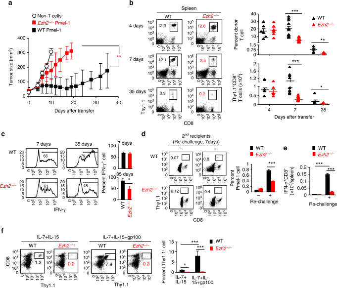 Ezh2 is required for CD8 + T cells to control tumor growth and promote memory precursor formation . a WT and Ezh2 − / − naive Pmel-1 cells (1 × 10 6 , Thy1.1 + ) were transferred into sublethally irradiated (5 Gy) B6 mice (Thy1.2 + ) that had pre-established B16 melanoma, followed by treatment with IL-2 (1 × 10 5 IU per injection, i.p., twice a day) and gp100-pulsed DCs (gp100-DCs, 1 × 10 6 per mouse, i.p.) for 3 days. Tumor size was monitored over time. b – f WT and Ezh2 − / − T N Pmel-1 cells (1 × 10 6 , Thy1.1 + ) were transferred into sublethally irradiated non-tumor-bearing B6 mice, followed by immunization with IL-2 and gp100-DCs for 3d. b Donor T cells were collected from the spleen 4 days, 7 days, and 35 days after adoptive transfer. Plots and graphs show the frequency and numbers of donor T cells. c Percentage of IFN-γ-producing donor T cells in the spleen. d Donor T cells were collected from the spleen of WT and Ezh2 − / − Pmel-1 cell primary recipients 42 days after transfer, and separately transferred into sublethally irradiated secondary non-tumor-bearing B6 mice (4 × 10 4 cells per mouse), followed by treatment with IL-2 and gp100-DCs at 42 days, 43 days, and 44 days. By 49 days, donor T cells were collected from the spleen of the secondary mice. Plots and graph show the percentage of donor Pmel-1 cells. e Donor T cells derived from these secondary mice were activated with anti-CD3 Ab for 5 hrs to measure their production of IFN-γ. Graph shows the number of IFN-γ + Pmel-1 cells in the spleen. f Donor T cells collected at 49d from the secondary mice were cultured ex vivo with IL-7 + IL-15 in the presence or absence of gp100 for additional 5 days. Plots and graphs show the percentage of donor T cells in cultures. * p