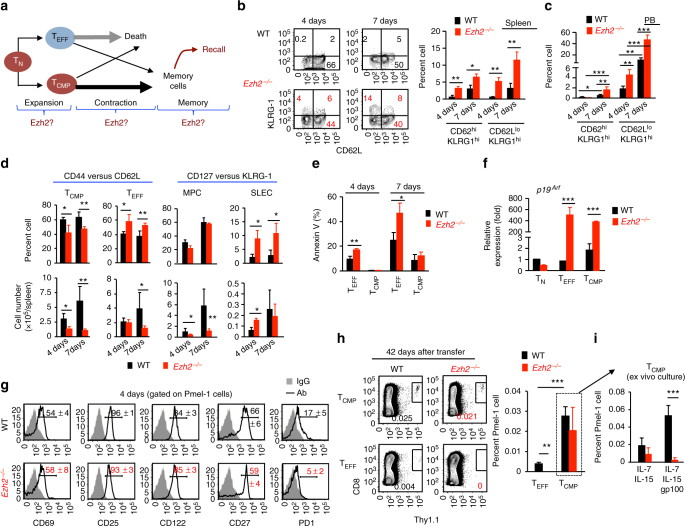 Ezh2 helps establish memory properties in activated CD8 + T cells early during expansion . a Schematic diagram of three characteristic phases of the T-cell response and the possible role of Ezh2 in each phase. b – g WT and Ezh2 − / − naive Pmel-1 cells (Thy1.1 + ) were transferred into sublethally irradiated non-tumor-bearing B6 mice (Thy1.2 + ), followed by immediate treatment with IL-2 and gp100-DCs for 3 days. Donor T cells were recovered at 4 days and 7 days after transfer. Plots and graphs show the percentage of KLRG-1-expressing (KLRG1 hi ) T CMP and T EFF in the spleen ( b ) and PB ( c ). d Graphs show the percentage and numbers of T CMP and T EFF (left panel) in the spleen at 4 days and 7 days after transfer. The right panel shows the percentage and numbers of MPCs and SLECs measured with KLRG-1 and CD127 at 4 days and 7 days after transfer. e The percentage of Annexin V-positive cells in the subpopulation of T CMP and T EFF at 4 days and 7 days after transfer. f Real-time RT-PCR measurement of p19 Arf in the subset of T CMP and T EFF of 4 days and 7 days. g Histograms show the expression of indicated surface markers on WT and Ezh2 − / − T cells derived from the spleen at 4d after transfer. h , i WT and Ezh2 − / − naive Pmel-1 cells (Thy1.1 + ) were transferred into sublethally irradiated non-tumor-bearing B6 mice (Thy1.2 + ), followed by immediate treatment with IL-2 and gp100-DCs for 3 days. By 7 days after transfer, donor T CMP and T EFF were highly purified using FACS sorter, and transferred into sublethally irradiated secondary recipients that had been immunized with gp100-DCs 7 days earlier (described in Supplementary Fig.4). Forty-two days later, donor T cells were collected from the spleen of these secondary recipients ( h ), and further cultured ex vivo for additional 5 days ( i ). Plots and graphs show the frequency of donor T cells derived from the secondary recipients of WT and Ezh2 − / − T CMP and T EFF . * p