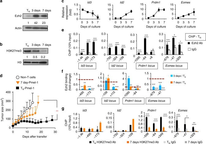 Ezh2 is dissociated from the regulatory regions of key TFs during CD8 + T-cell expansion . WT naive Pmel-1 cells were stimulated with anti-CD3/CD28 Ab + IL-2 for 7 days. Cells were collected at 0 days, 3 days and 7 days. a , b Immunoblot analysis of Pmel-1 cells before and after TCR-activation, probed with anti-Ezh2 Ab ( a ) and anti-H3K27me3 Ab ( b ). c Real-time RT-PCR analysis of gene expression in Pmel-1 cells before and after activation at indicated time points. d Tumor size in B16 tumor-bearing B6 mice receiving no transfer (Non-T cells), transfer of WT naive Pmel-1 cells (T N ) or in vitro TCR-activated 7 days Pmel-1 cells and treatment with IL-2 and gp100-DCs for 3 days. e – g ChIP analysis of T N ( e ), 3 days and 7 days Pmel-1 cells ( f ), and T N and 7 days Pmel-1 cells ( g ). * p