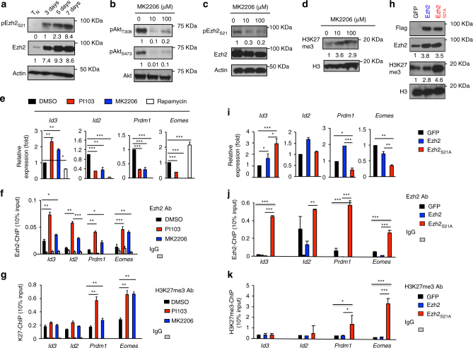 Phosphorylation of Ezh2 by Akt dissociates Ezh2 from the promoter regions of major TF loci . a WT Pmel-1 cells were stimulated with anti-CD3/CD28 Ab + IL-2. Immunoblot analysis of Pmel-1 cells stimulated in vitro for 3 days, 5 days, and 7 days, probed with Abs against Ezh2 and phosphorylated Ezh2 S21. Unstimulated T N were used as control. b – d Immunoblot analysis of Pmel-1 CD8 + T cells stimulated in vitro for 7 days, with or without treatment of MK2206, probed with indicated Abs. e – g WT Pmel-1 cells were cultured with anti-CD3/CD28 Ab + IL-2, with or without treatment of PI103, MK2206 or rapamycin for 7 days. Real-time RT-PCR analysis of Ezh2-targeted genes ( e ). ChIP analysis of cultured Pmel-1 cells treated with PI103, or MK2206. Graphs show the deposition of Ezh2 ( f ) and H3K27me3 ( g ) at the promoter regions of Id3 , Id2 , Prdm1 , and Eomes . h – k WT Pmel-1 cells were stimulated with anti-CD3/CD28 Ab for 36 h, followed by infection with MigR1 retrovirus (GFP) or MigR1 retrovirus encoding flag-tagged Ezh2, or Ezh2 S21A . Pmel-1 cells were collected at 7 days after culture. Immunoblot analysis of GFP and Ezh2 S21A Pmel-1 cells, probed with indicated Abs ( h ). Real-time RT-PCR analysis of their expression of major TFs ( i ). ChIP analysis shows the deposition of Ezh2 ( j ) and H3K27me3 ( k ) at the promoter regions of these major TFs loci. * p