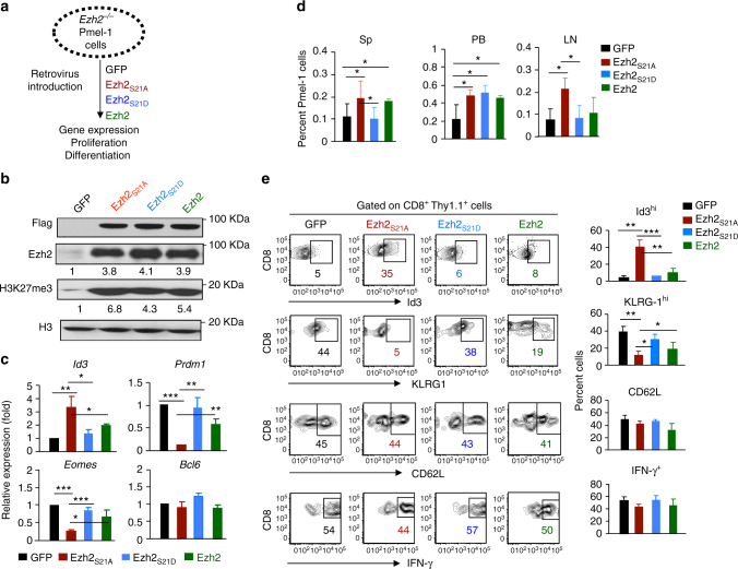 Inhibiting Akt-mediated phosphorylation of Ezh2 enhances the generation of T CMP . Ezh2 −/− Pmel-1 cells (Thy1.1 + ) were stimulated with anti-CD3/CD28 Ab + IL-2 for 36 h, followed by infection with MigR1 retrovirus encoding GFP, Ezh2, Ezh2 S21D and Ezh2 S21A , respectively . At 7 days, after stimulation, these infected T cells were collected. a Experiment scheme. b Immunoblot analysis of Pmel-1 cells transduced with GFP, Ezh2, Ezh2 S21D and Ezh2 S21A , probed with Flag, H3K27me3 and H3. c RT-PCR analysis of gene expression in Pmel-1 cells transduced by indicated genes. d , e These 7 day-Pmel-1 cells (Thy1.1 + ) were transferred into sublethally irradiated B6 mice (Thy1.2 + ), followed by treatment with IL-2 and gp100-DCs for 3d after transfer. d Donor T cells were collected from the spleen, PB and LN at 6d after adoptive transfer, and measured by flow cytometric analysis. e Plots and graphs show the percentage of of Id3 hi , KLRG1 hi , CD62L + and IFN-γ + within donor T cells from the spleen. * p