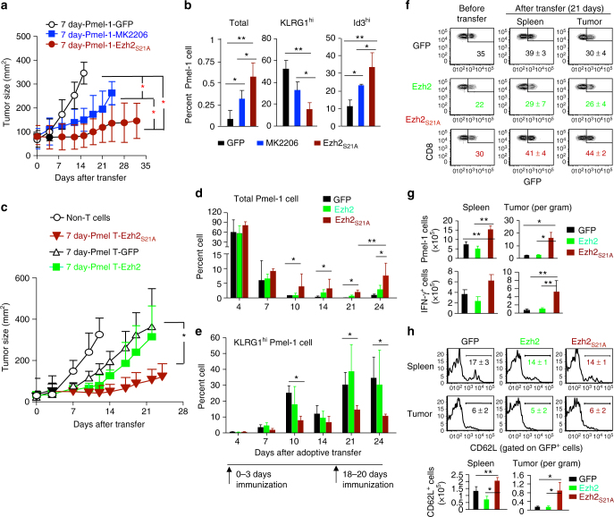 Inhibiting Akt-mediated Ezh2 phosphorylation improves antitumor immunity . a , b Ex vivo-expanded 7 day-Pmel-1 cells (Thy1.1 + ), MK2206-treated 7 day-Pmel-1 cells (Thy1.1 + ), or 7 day-Pmel-1 cells infected with MigR1 retrovirus encoding Ezh2 S21A (Thy1.1 + , 5 × 10 5 T cells per mouse) were transferred into sublethally irradiated B6 mice that had pre-established B16 melanoma, followed by treatment with IL-2 and gp100-DCs from 0 to 3 days and repeated once more from 18 to 20 days. Tumor size was monitored over time ( a ). Some recipient mice were sacrificed at 9 days to examine the presence of donor Pmel-1 cells in the spleen using flow cytometric analysis. Graphs show the percentage of indicated total cells and cell subsets ( b ). c – h B6 mice with pre-established B16 melanoma cells received no adoptive transfer (Non-T cells), transfer of in vitro expanded 7 day-Pmel-1 cells infected with MigR1 encoding GFP, Ezh2 or Ezh2 S21A (5 × 10 5 T cells per mouse), followed by treatment with IL-2 and gp100-DCs from 0-3 days and repeated once more from 18 to 20 days. Tumor size was monitored over time ( c ). The percentage of total donor Pmel-1 cells ( d ) and KLRG1 hi Pmel-1 cells ( e ) in circulating PB from each group of mice receiving GFP-, Ezh2- and Ezh2 S21A -7 day-Pmel-1 cells over a period of 24 days after transfer. f – h In separate experiments as described in ( c – e ) above, donor T cells were recovered from the spleen and tumor at 21 days after transfer. f Plots show the percentage of transferred GFP + cells in tumor and spleen by gating on donor Thy1.1 + Pmel-1 CD8 + cells, with Pmel-1 cells prior to transfer as controls. g Graphs show the number of total donor GFP + Thy1.1 + Pmel-cells and IFN-γ + Pmel-1 cells in the spleen and tumor. h Plots show the expression of CD62L on the surface of donor GFP + Thy1.1 + T cells derived from the spleen and tumor. * p
