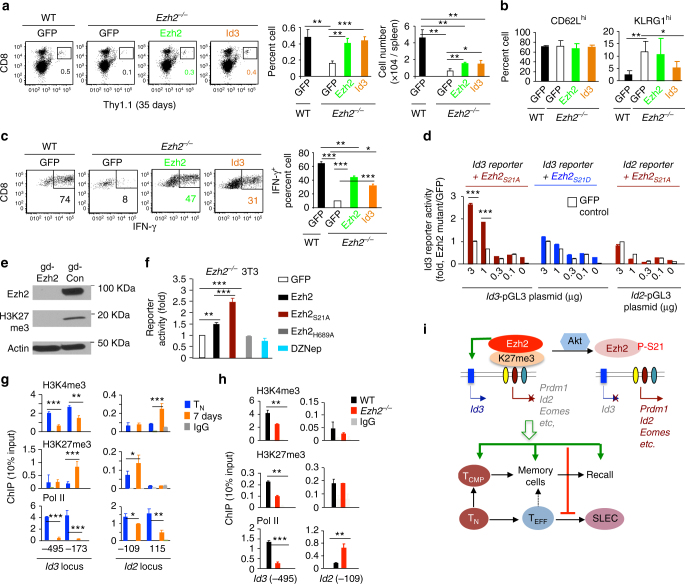 Id3 is a downstream effector of Akt-unphosphorylated Ezh2 in CD8 + T cells . a – c WT and Ezh2 −/− T N Pmel-1 cells (Thy1.1 + ) were activated and infected with MigR1 encoding GFP, Ezh2, and Id3, respectively. By 7 days, GFP + T cells were sorted and transferred into sublethally irradiated B6 mice (Thy1.2 + , 5 × 10 5 cells per mouse). IL-2 and gp100/DCs were administered to these mice for 3 days after the transfer. Donor T cells were collected from the spleen 35 days after transfer to measure their percentage and numbers ( a ), surface phenotype ( b ) and production of IFN-γ ( c ). Dot plots and graphs in c show the percent of IFN-γ + cells within donor Thy1.1 + T cells. d 3T3 cells were transduced with an Id3 -specific pGL3 luciferase reporter ( Id3-pGL ), together with MigR1-GFP, MigR1-Ezh2 S21A or MigR1-Ezh2 S21D . Id2 -specific pGL3 luciferase reporter ( Id2-pGL ) was used as control. Graph shows the fold change of luciferase reporter activity. The data (mean±SD) are representatives of three independent experiments. e , f 3T3 cells were transduced with pL-CRISPR.EFS.GFP plasmid or pL-CRISPR.EFS.GFP plasmid encoding guide RNA targeting Ezh2. 3 days later, GFP + cells were sorted into single cell using FACS sorter to select Ezh2-knockout cell clones. Immunoloblots show the loss of Ezh2 in 3T3 cells with Ezh2 knockout ( e ). These Ezh2-null 3T3 cells were reconstituted with MigR1-GFP vector and MigR1 encoding Ezh2, Ezh2 S21A or Ezh2 H689A . Id3-pGL luciferase reporter was introduced to these cells for reporter assay. In some experiments, WT 3T3 cells were treated with DZNep to deplete Ezh2 protein. Graph shows the fold change of luciferase reporter activity ( f ). g WT Pmel-1 cells were stimulated with anti-CD3/CD28 Ab + IL-2 for 7 days for ChIP analysis. Graphs show the deposition of H3K4me3, H3K27me3and Pol II at the promoter regions of Id3 and Id2. h WT and Ezh2 −/− T N Pmel-1 cells (Thy1.1 + ) were stimulated with anti-CD3/CD28 Ab + IL-2 for 7 days to perform 