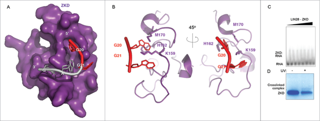 The LIN28A ZKD can crosslink RNA in vitro . (A) Surface representation of the LIN28A ZKD in complex with the GGAG fragment of preE M -let-7f. G20 and G21, the 2 major points of mutation in the crosslinked preE M -let-7f fragment are highlighted in red. (B) Cartoon representations of the LIN28A ZKD with G20 and G21 interacting with the side chains of residues K159, H162 and M170. (C) Gel shift binding assays with the radiolabeled pre-let-7 fragment UAGGAGAU, mixed with increasing concentrations of LIN28A-ZKD (0, 56, 225, 900 nM, 1.8, 3.6, 5.4 and 7.2 μM). (D) Corresponding SDS-PAGE gel shows a crosslinked complex band following UV irradiation.