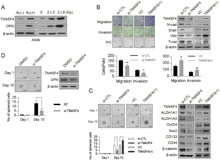 Changes of cellular TM4SF4/osteopontin levels and their related down-stream targets in ALDH1 high or fractionated γ-irradiation-exposed cells and control of EMT and CSC properties by TM4SF4 in lung cancer cells ( A ) Western blot analysis of TM4SF4 and osteopontin levels in ALDH1 high [AL(+)] and ALDH1 low [AL(–)] cells sorted from A549 cell lines(left panel) and fractionated γ-radiation-exposed cells (2 Gy × 3 times, 2 Gy × 9 times: right panel). ( B ) Changes of migration/ invasion capacity (left panel) and EMT markers including N-cadherin, Vimentin, Snail, and Twist (right panel) in TM4SF4 -overexpressing or TM4SF4 -suppressing A549 cells. ( C ) Changes of sphere-forming capacity (left panel) and CSC markers such as Oct3/4, Sox2, CD133, CD44, β-catenin, and ALDH1 (left panel) in TM4SF4 -overexpressing or TM4SF4 -suppressing A549 cells. ( D ) Changes of sphere-forming capacity and cellular osteopontin level after treatment with neutralizing antibody against TM4SF4. Data represent the mean of three independent experiments. The quantified results are presented as mean ± s.d. using two-tailed t -test. * p