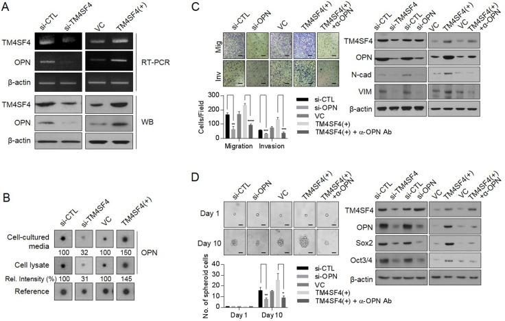 Effect of TM4SF4 on EMT and CSC-like properties through osteopontin secretion in lung cancer cells ( A ) Changes of transcriptional and protein levels of osteopontin in TM4SF4 -overexpressing or TM4SF4 -suppressing A549 cells. ( B ) Cytokine array analysis. Changes of osteopontin in cell lysate and cell cultured media of TM4SF4 -overexpressing or TM4SF4 -suppressing A549 cells. ( C ) Suppression of migration/invasion capacity (left panel) and EMT markers such as N-cadherin and vimentin (right panel) that were increased in TM4SF4 -overexpressing A 549 cells. ( D ) Suppression of sphere-forming capacity (left panel) and CSC markers such as Sox2 and Oct3/4 (right panel) that were increased in TM4SF4-overexpressing A549 cells. Data represent the mean of three independent experiments. Scale bar = 20 mm. The quantified results are presented as mean ± s.d. using two-tailed t -test. * p