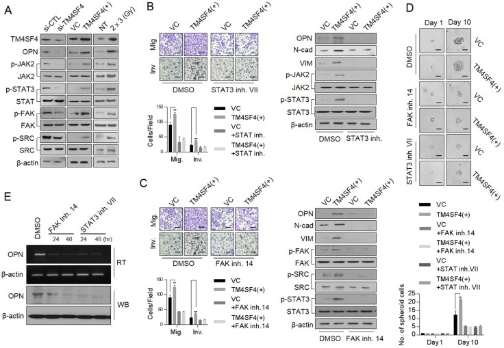 TM4SF4 is involved in the transcriptional regulation of osteopontin via the JAK2/STAT3 or FAK/STAT3 pathway ( A ) Western blot analysis of cellular, p-JAK2, p-FAK, p-SRC and p-STAT3 levels in TM4SF4 -overexpressing or TM4SF4 -suppressing A549 cells. ( B ) Changes in metastatic capacity (left panel) and cellular EMT markers (N-cadherin and vimentin) and osteopontin levels (right panel) after treatment of STAT3 inhibitor VII (10 μM, 24 hr), JAK2/STAT3 inhibtior. ( C ) Changes of metastatic capacity (left panel) and cellular EMT markers (N-cadherin and vimentin), p-STAT, p-SRC, and osteopontin levels (right panel) after treatment with FAK inhibitor 14 (10 μM, 24 hr) in TM4SF4 -overexpressing A549 cells. ( D ) Changes of sphere-forming cellular capacity after treatment of FAK inhibitor 14 and STAT3 inhibitor VII in TM4SF4 -overexpressing A549 cells. ( E ) Changes of transcriptional and protein levels of osteopontin after treatment with FAK inhibitor 14 and STAT3 inhibitor VII. Scale bar = 20 mm. Data represent the mean of three independent experiments. The quantified results are presented as mean ± s.d. using two-tailed t -test. ** p