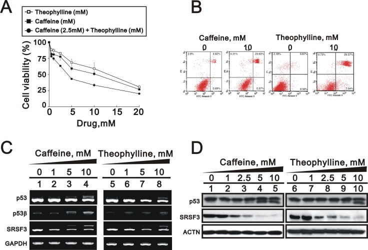 Theophylline induced cell death and apoptosis in MCF-7 cells ( A ) MCF-7 cells were treated with indicated amount of theophylline, caffeine, or both combinations for 24 h. Cell viability were measured with the MTS assay. ( B ) MCF-7 cells were treated with 10 mM theophylline and caffeine for 24 h. The apoptosis analysis was used with Annexin V using the flow cytometry analysis. MCF-7 cells were treated with indicated concentration of theophylline for 24 h. Cell lysates were subject to ( C ) the RT-PCR analysis with primers for p53, p53 beta, SRSF3. GAPDH as a loading control; ( D ) Western blotting analysis with antibodies against p53 and SRSF3. ACTN served as a loading control. The results are representative of two independent experiments.