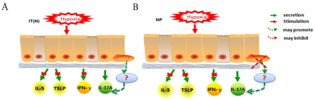 (A) Hypoxia stimulated IT(N) epithelial cells, no differences in IL-5, TSLP, IFN-γ secretion when compared with normoxia. IL-17A secretion appeared changes under hypoxia. HIF1α promoted IL-17A secretion in epithelial cells under hypoxia. (B) Hypoxia stimulated NP epithelial cells, no differences in IL-5, TSLP, IFN-γsecretion stimulated by hypoxia when compared with normoxia. IL-17A secretion appeared changes under hypoxia. Decreased HIF1α inhibited IL-17A secretion in epithelial cells under hypoxia.