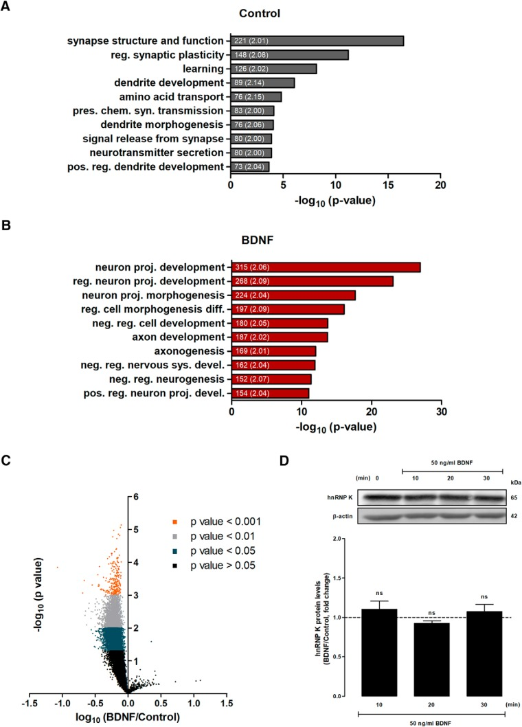 Stimulation of hippocampal neurons with BDNF decreases the interaction of hnRNP K with a large number of transcripts. A , B , List of the 10 most significantly enriched biological processes associated with mRNAs bound to hnRNP K ( A ) and those that were regulated by BDNF (50 ng/ml for 10 min) ( B ), identified with the PANTHER classification system. Only categories showing at least a 2-fold enrichment (considering the size of our lists) were analyzed and the 10 categories displaying the highest –log 10 ( p value) are shown. The number of transcripts belonging to each category and the fold change (designated in parenthesis) are indicated within graph bars. reg., regulation; pres., presynaptic; chem, chemical; syn., synaptic; pos., positive; proj., projection; diff., differentiation; neg., negative; sys., system; devel., development. C , Cultured hippocampal neurons were stimulated or not with BDNF (50 ng/ml) for 10 min before preparation of cellular extracts. hnRNP K was immunoprecipitated from control and BDNF-treated hippocampal neuron homogenates, and the associated transcripts were identified by microarray analysis. The specificity of transcripts associated with hnRNP K was assessed by subtracting the levels of correspondent mRNAs pulled down together with mouse IgG antibodies. hnRNP K-associated mRNAs were then compared between control and BDNF treated neurons. The results were obtained from the quantification of four different experiments performed in independent preparations, and are expressed as -log ( p value) and log fold change (BDNF vs control). A total of 9509 transcripts showed a decrease in the interaction with hnRNP K in cells stimulated with BDNF; p